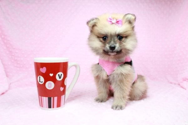 Cream - Teacup Pomeranian Puppy has found a good loving home with Sambhu from Las Vegas, NV 89102-26709