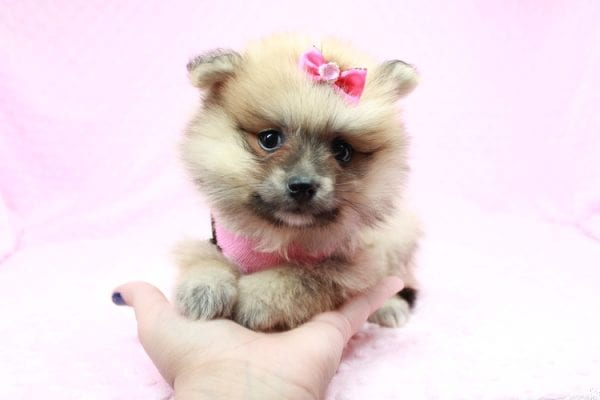 Cream - Teacup Pomeranian Puppy has found a good loving home with Sambhu from Las Vegas, NV 89102-26710