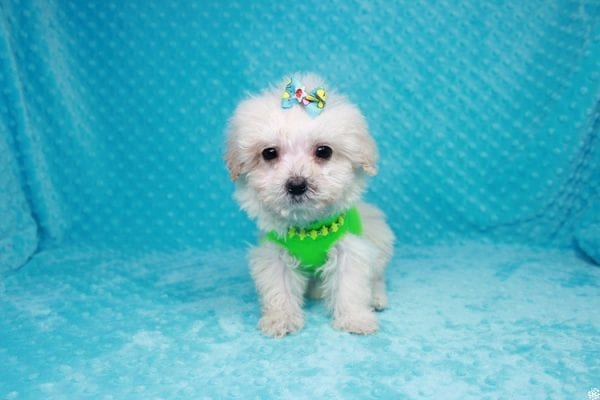 Peter Rabbit - Teacup Maltipoo Puppy has found a good loving home with Asuncion from Los Angeles, CA 90042.-27108