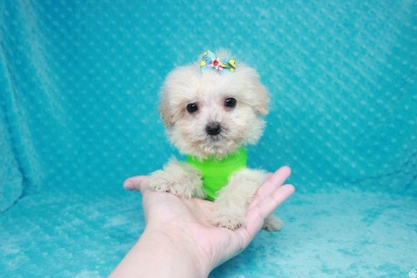 Peter Rabbit - Teacup Maltipoo Puppy has found a good loving home with Asuncion from Los Angeles, CA 90042.-27107