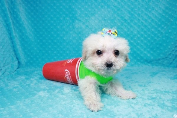 Peter Rabbit - Teacup Maltipoo Puppy has found a good loving home with Asuncion from Los Angeles, CA 90042.-27106