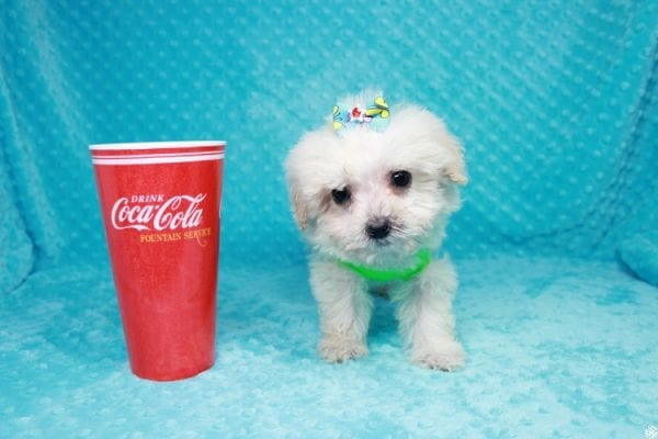 Peter Rabbit - Teacup Maltipoo Puppy has found a good loving home with Asuncion from Los Angeles, CA 90042.-0
