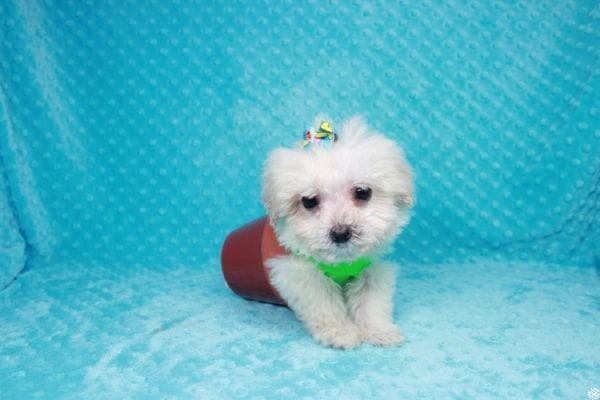 Peter Rabbit - Teacup Maltipoo Puppy has found a good loving home with Asuncion from Los Angeles, CA 90042.-27111