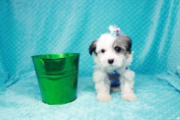 Sonic - Teacup Maltipoo Puppy-27067