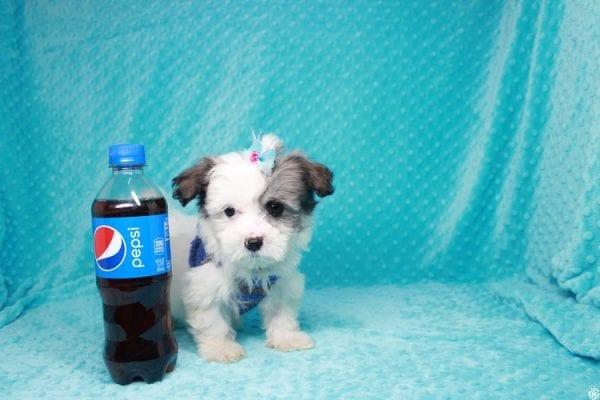 Sonic - Teacup Maltipoo Puppy-27069