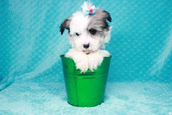 Sonic - Teacup Maltipoo Puppy-0