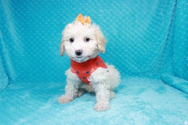 Spongebob - Toy Maltipoo Puppy has found a good loving home with William from Las Vegas, NV 89147-27113