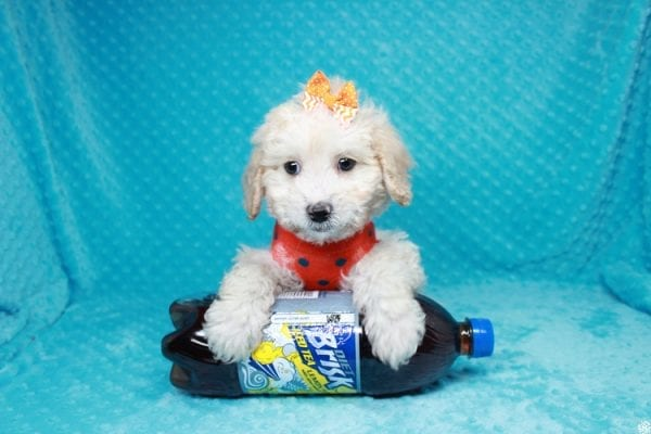 Spongebob - Toy Maltipoo Puppy has found a good loving home with William from Las Vegas, NV 89147-27112