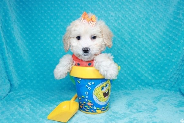 Spongebob - Toy Maltipoo Puppy has found a good loving home with William from Las Vegas, NV 89147-0