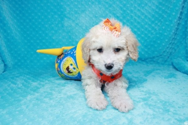 Spongebob - Toy Maltipoo Puppy has found a good loving home with William from Las Vegas, NV 89147-27116