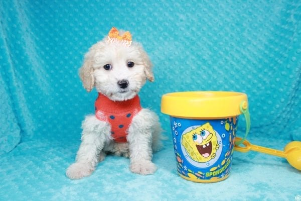 Spongebob - Toy Maltipoo Puppy has found a good loving home with William from Las Vegas, NV 89147-27117