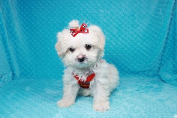 Stuart Little - Toy Maltipoo Puppy has found a good loving home with Duanchai from Las Vegas, NV 89128.-27118
