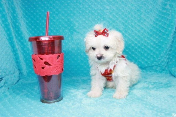 Stuart Little - Toy Maltipoo Puppy has found a good loving home with Duanchai from Las Vegas, NV 89128.-27121