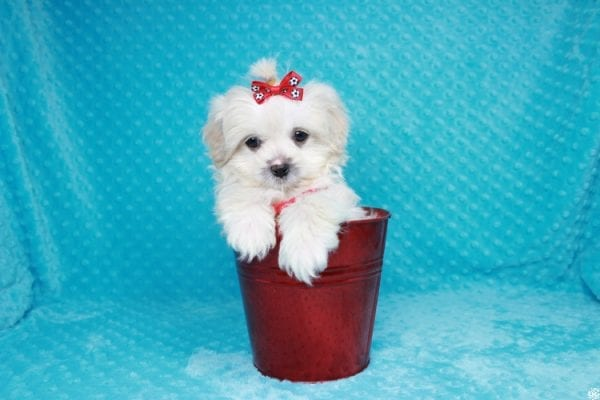 Stuart Little - Toy Maltipoo Puppy has found a good loving home with Duanchai from Las Vegas, NV 89128.-27122