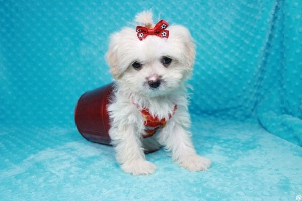 Stuart Little - Toy Maltipoo Puppy has found a good loving home with Duanchai from Las Vegas, NV 89128.-27123