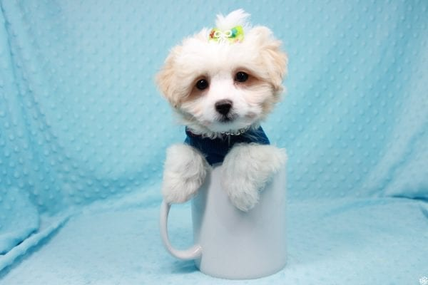The Grinch - Teacup Maltipoo Puppy Has Found a Loving Home with Mario from N. Las Vegas, NV 89081!-27004