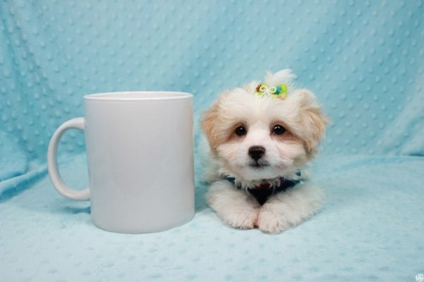 The Grinch - Teacup Maltipoo Puppy Has Found a Loving Home with Mario from N. Las Vegas, NV 89081!-27005