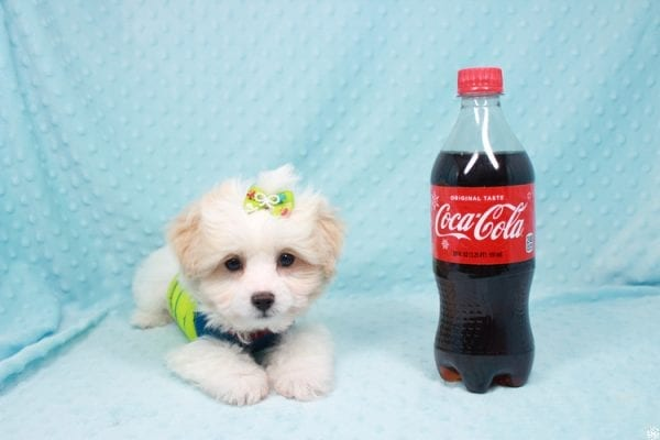 The Grinch - Teacup Maltipoo Puppy Has Found a Loving Home with Mario from N. Las Vegas, NV 89081!-27002