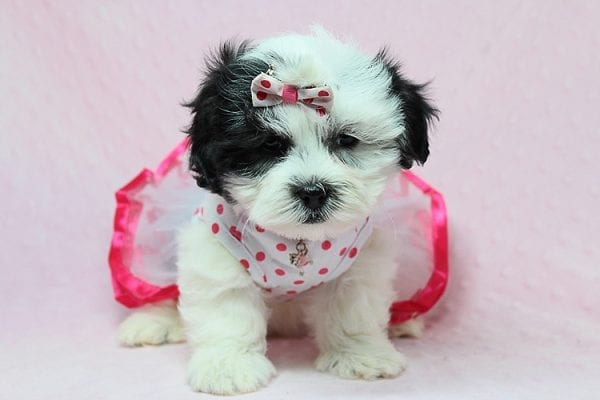 American Girl - Teacup Malshi Puppy has found a good loving home with Carol from Mission Viejo, CA 92692-27420
