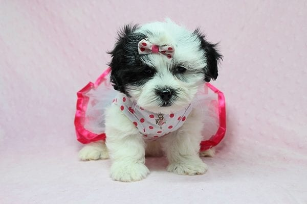 American Girl - Teacup Malshi Puppy has found a good loving home with Carol from Mission Viejo, CA 92692-27421