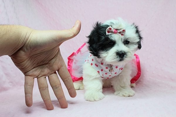 American Girl - Teacup Malshi Puppy has found a good loving home with Carol from Mission Viejo, CA 92692-27424