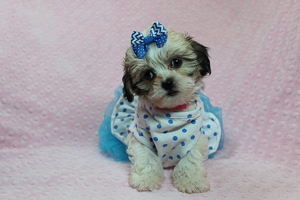 Anne - Teacup Malshih Puppy Found Her Good Loving Home With Alexandra G. In Sherman Oaks CA, 91423-27217