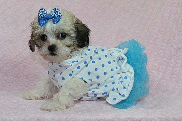 Anne - Teacup Malshih Puppy Found Her Good Loving Home With Alexandra G. In Sherman Oaks CA, 91423-27215