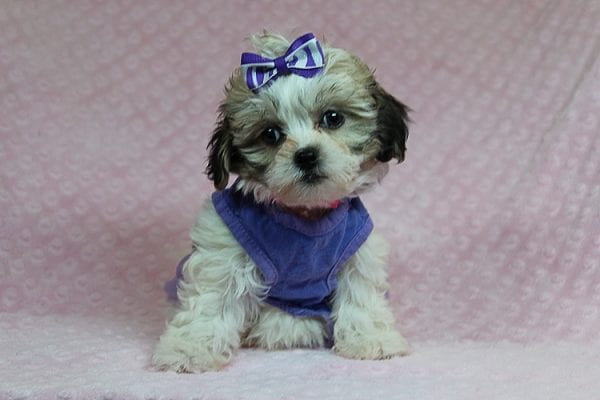 Anne - Teacup Malshih Puppy Found Her Good Loving Home With Alexandra G. In Sherman Oaks CA, 91423-27218