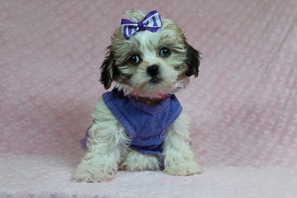 Anne - Teacup Malshih Puppy Found Her Good Loving Home With Alexandra G. In Sherman Oaks CA, 91423-27219
