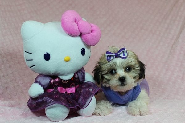 Anne - Teacup Malshih Puppy Found Her Good Loving Home With Alexandra G. In Sherman Oaks CA, 91423-27220
