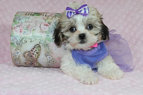 Anne - Teacup Malshih Puppy Found Her Good Loving Home With Alexandra G. In Sherman Oaks CA, 91423-0