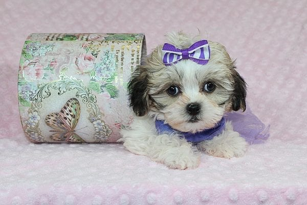 Anne - Teacup Malshih Puppy Found Her Good Loving Home With Alexandra G. In Sherman Oaks CA, 91423-27224