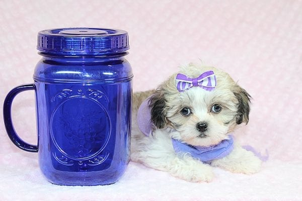 Anne - Teacup Malshih Puppy Found Her Good Loving Home With Alexandra G. In Sherman Oaks CA, 91423-27223