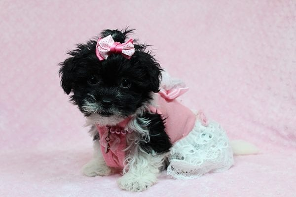 Bailey - Teacup Malshi Puppy has found a good loving home with Angela from Visalia, CA 93291-27247
