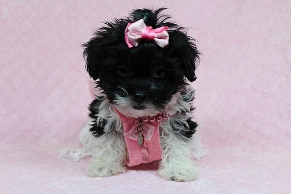 Bailey - Teacup Malshi Puppy has found a good loving home with Angela from Visalia, CA 93291-27249