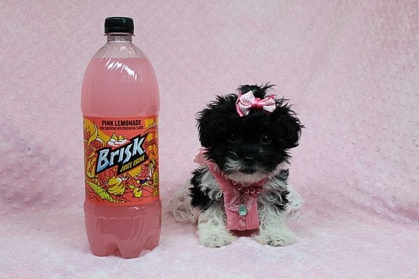 Bailey - Teacup Malshi Puppy has found a good loving home with Angela from Visalia, CA 93291-27251