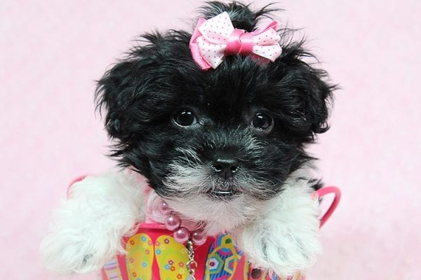 Bailey - Teacup Malshi Puppy has found a good loving home with Angela from Visalia, CA 93291-27253