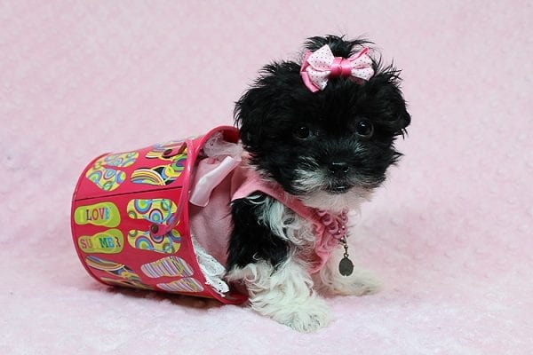 Bailey - Teacup Malshi Puppy has found a good loving home with Angela from Visalia, CA 93291-0