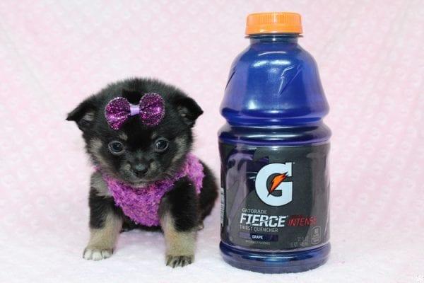 Bella - Tiny Teacup Porkie Puppy-27264