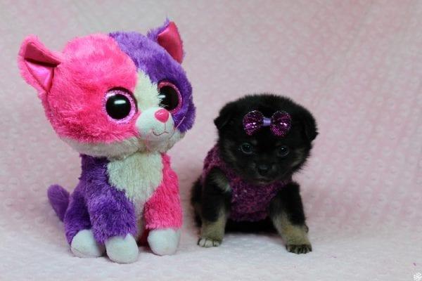 Bella - Tiny Teacup Porkie Puppy-27266