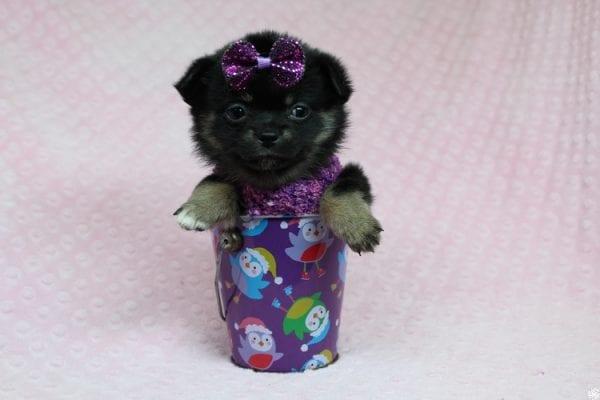 Bella - Tiny Teacup Porkie Puppy-27267