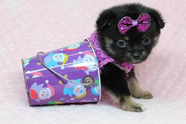 Bella - Tiny Teacup Porkie Puppy-27268