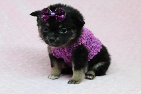 Bella - Tiny Teacup Porkie Puppy-27261