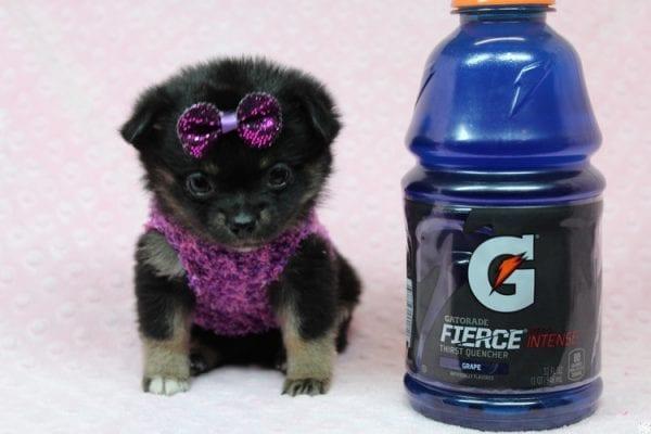 Bella - Tiny Teacup Porkie Puppy-27263