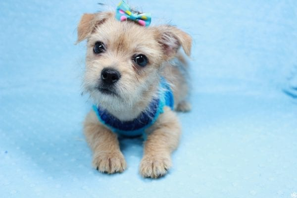 Big Boy - Toy Porkie Puppy has found a good loving home with Chanelle from Los Angeles, CA 90046-28103