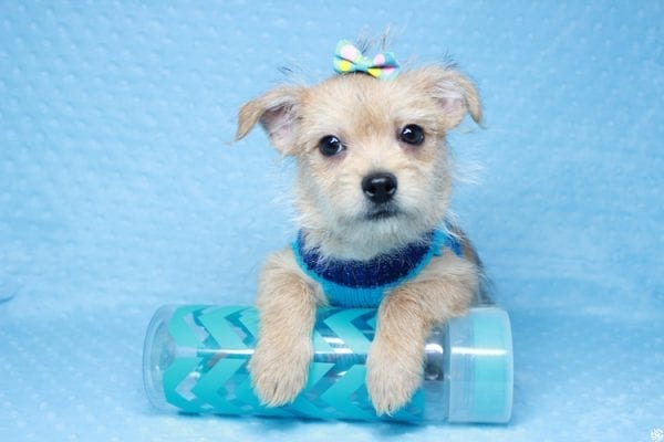 Big Boy - Toy Porkie Puppy has found a good loving home with Chanelle from Los Angeles, CA 90046-28104