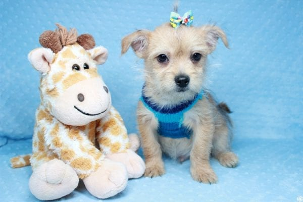 Big Boy - Toy Porkie Puppy has found a good loving home with Chanelle from Los Angeles, CA 90046-0