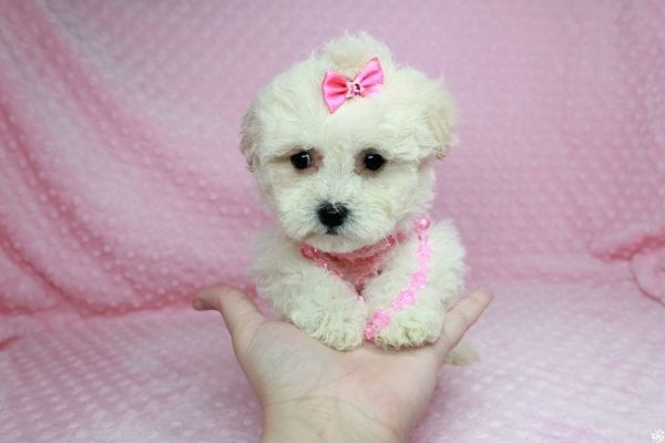 Bling - Teacup Maltipoo Puppy has found a good loving home with Glenda from Las Vegas, NV 89115.-27739
