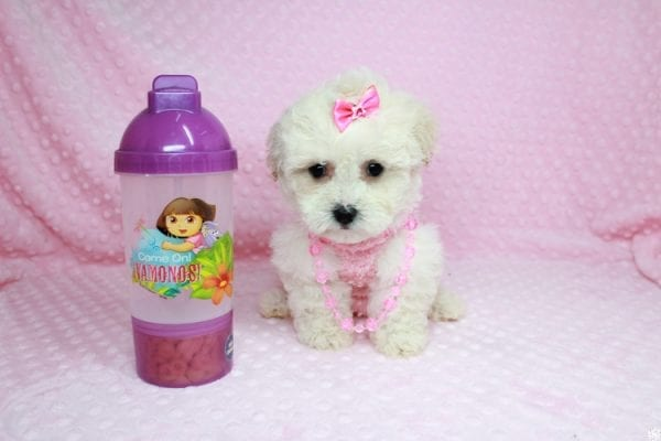 Bling - Teacup Maltipoo Puppy has found a good loving home with Glenda from Las Vegas, NV 89115.-27738