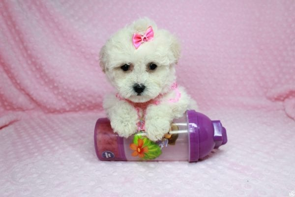 Bling - Teacup Maltipoo Puppy has found a good loving home with Glenda from Las Vegas, NV 89115.-27740